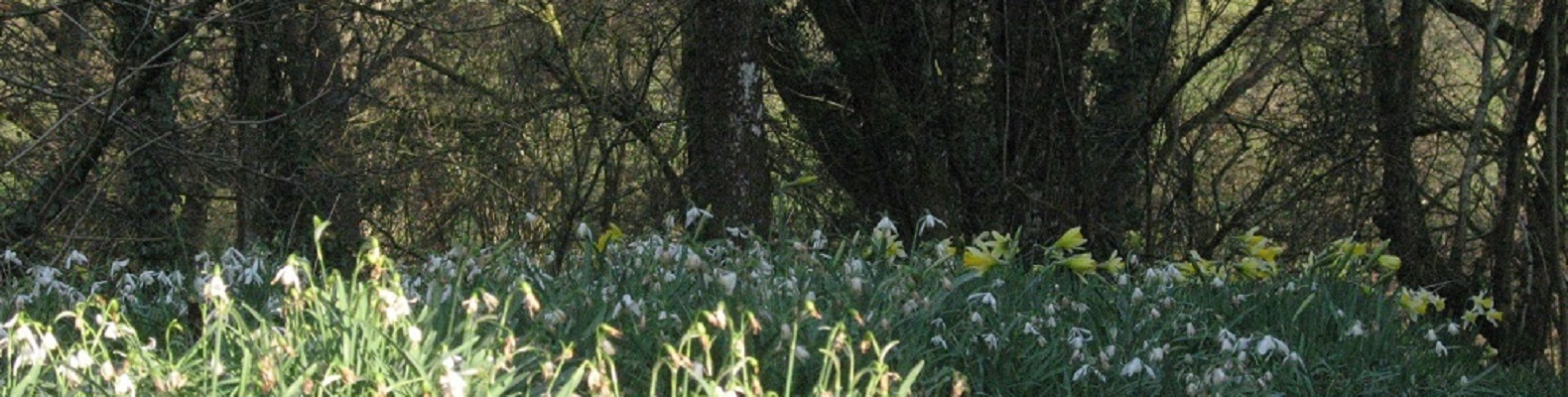 Woodland daffodils and snowdrops